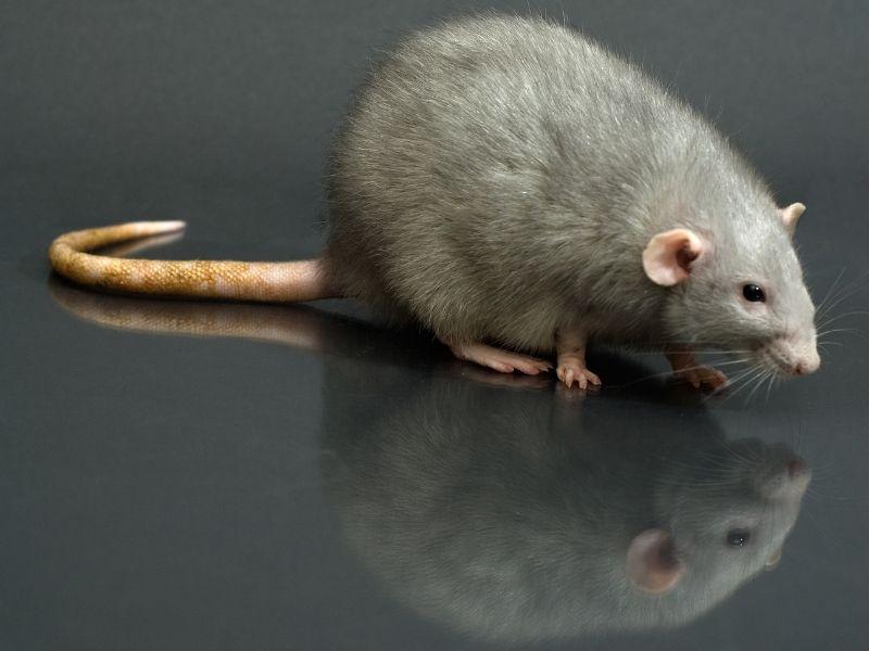 Cara halau tikus dalam rumah